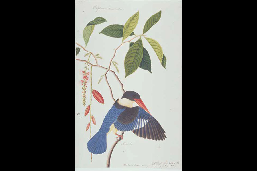 Black-capped Kingfisher, Malacca, early 19th century, watercolour on paper