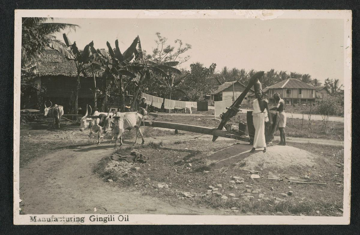 Image result for gingili oil plant