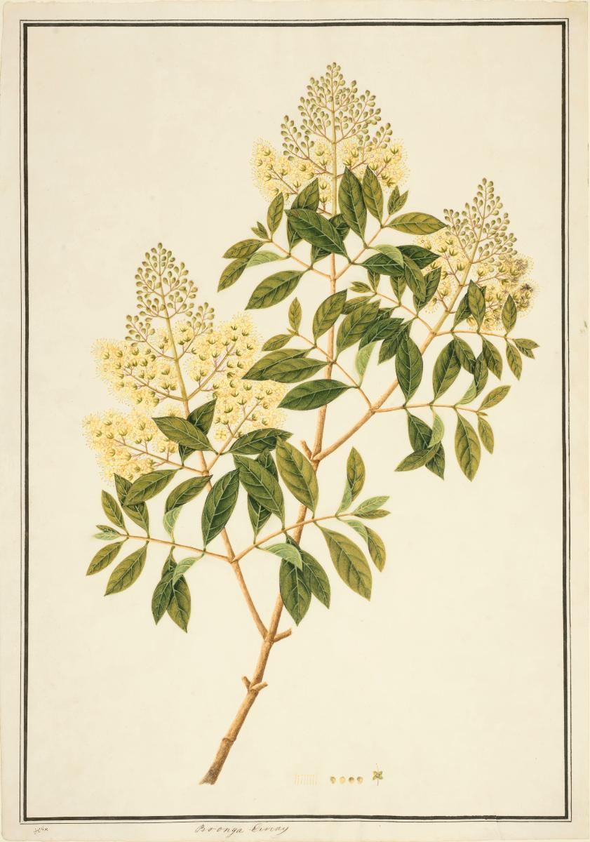 Henna William Farquhar Collection Of Natural History Drawings