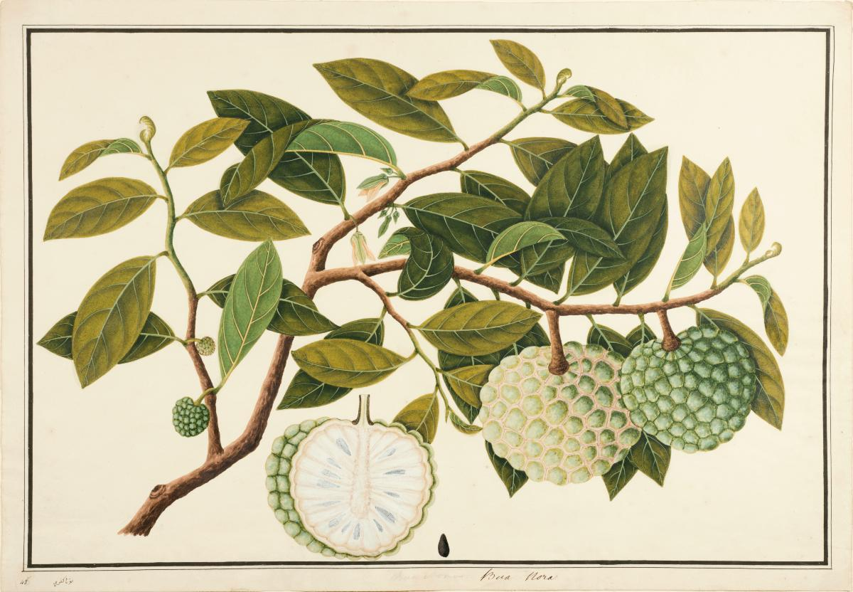 Custard Apple Tree Drawing