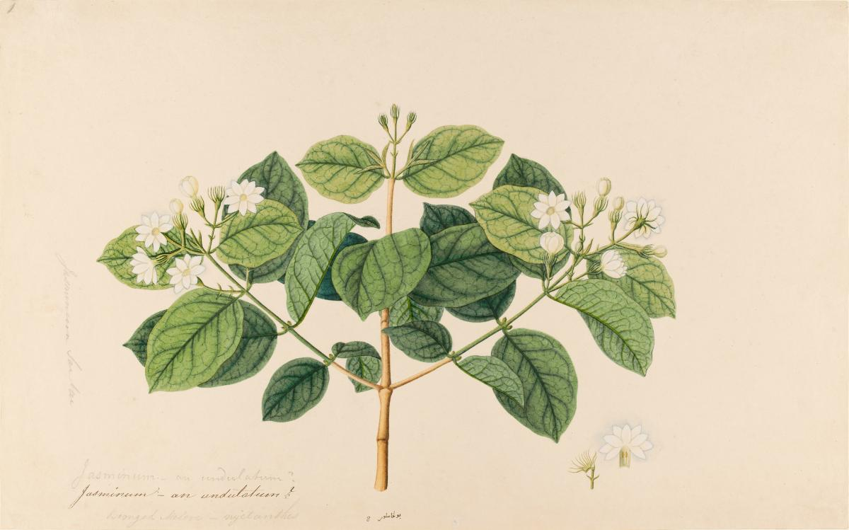 Jasmine william farquhar collection of natural history drawings izmirmasajfo